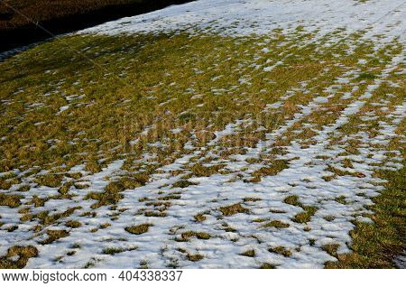 Stressed Lawn In The Winter Suffers From Mold And Excessive Movement Of People. Especially Bobbing D