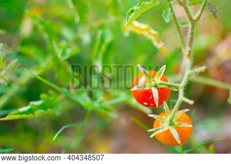 Close-up Of Red And Orange Tomato On The Farm. They Have Green Leaves And Small Stem. This Is Organi