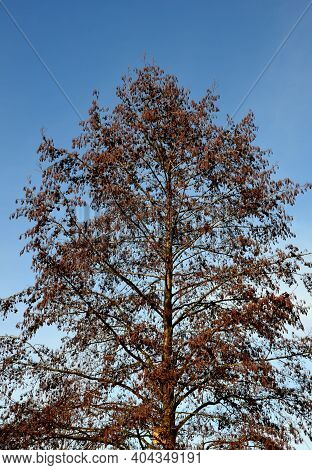 Alder Demands Even In Habitats With Groundwater Levels Permanently On The Soil Surface. It Does Not