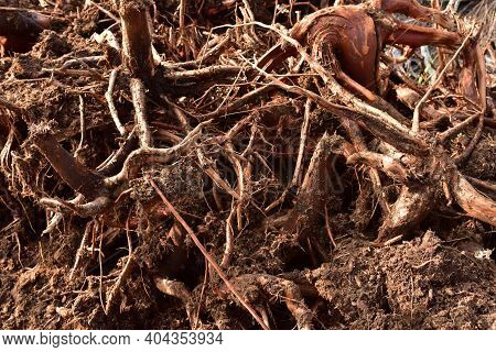 Root From Tree From Peat Bogs. Roots From Trees After Draining A Swamp For Peat And Oil Extraction.