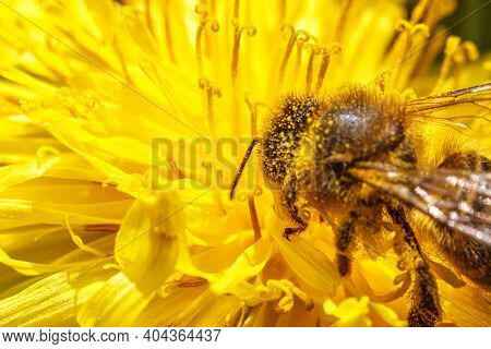 Honey Bee Covered With Yellow Pollen Drink Nectar, Pollinating Yellow Dandelion Flower. Inspirationa