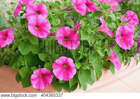Varieties Of Petunia And Surfinia Flowers In The Pot