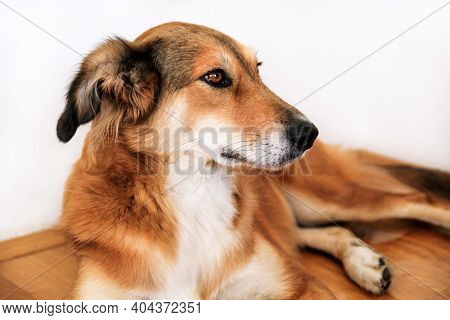 Collie Dog. Rough Collie Dog Lying On Under And Resting In The Bedroom. Lovely Cute Dog, Pretty, Pet