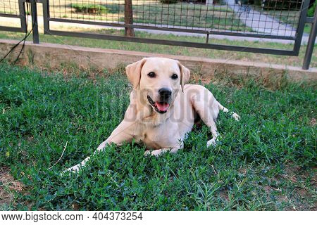 Labrador Retriever Resting In The Beautiful Natural Environment Of The Garden. A Yellow Labrador Ret