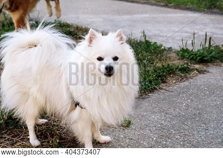 Pomeranian Dog In Park. Pomeranian Spitz Dogs Is Standing And Happy Smile. Lovely Dog, Pet Concept,