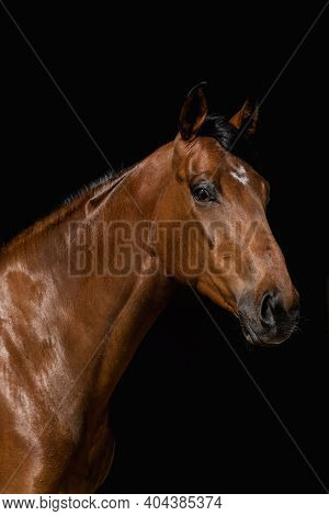 Facial Portrait Of Brown Thoroughbred Isolated In Black Background In The Stable