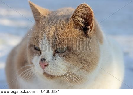 Portrait Of Red Beautiful Fluffy Homeless Cat, He Sits On The Snow In Winter. Animal Welfare Concept