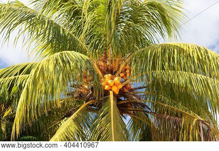 Close-up Of Palm With Orange Coconuts. Martinique, French West Indies. Caribbean Background.