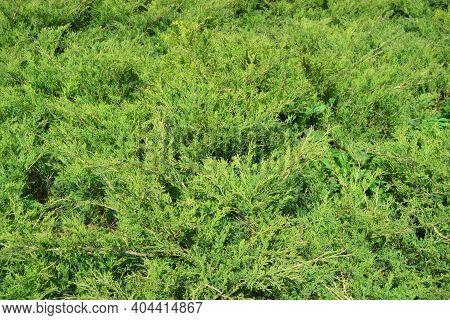 Green Hedge Of Thuja Trees Cypress, Juniper . Bush.. Thuja Green Natural Background. Hedge Of Thuja