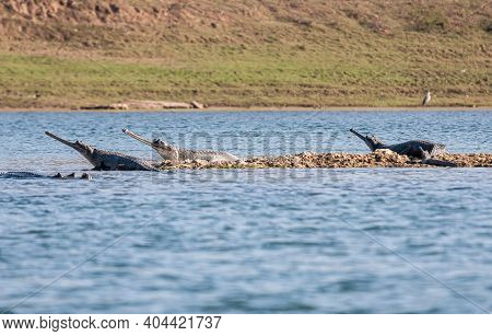 Agra, Uttar Pradesh, India - February 18, 2011: Chambal River. Close By Gharial Crocodiles Looking O