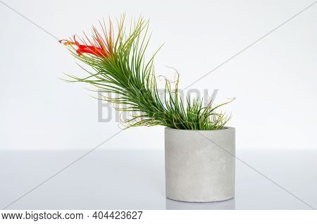 Air Plant - Tillandsia Funckiana With Red Color Flower And Pollen Plants In Cylinder Pot.