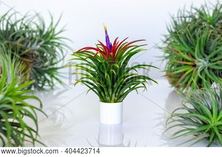 Air Plant - Tillandsia With Its Flower On White Background.
