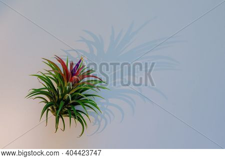 Air Plant - Tillandsia On White Background With Its Shadow From The Lights.