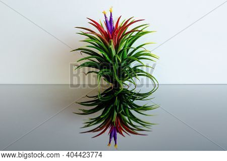 Air Plant - Tillandsia With Its Flower Puts On White And Black Background.