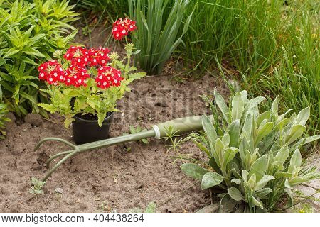Red Verbena Flowers And A Small Hand Rake On A Garden Bed With Green Grass On The Background.