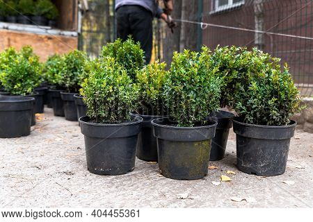Many Small Plastic Pots With Fresh Evergreen Buxus Boxwood Bushes Prepared For Planting At Ornamenta
