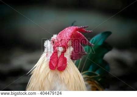 Portrait Beautiful Wild Rooster With Blurred Background