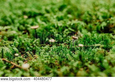 Beautiful Bright Green Moss Macro View. Fresh Nature For Wallpaper.moss Texture, Background With Cop