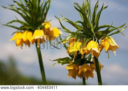 Crown Imperial, Imperial Fritillary Or Kaiser's Crown (fritillaria Imperialis), Yellow. Focus On The