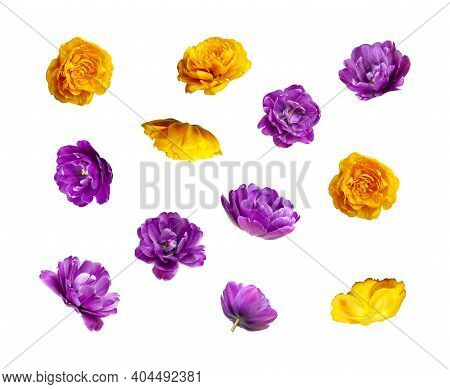 Various Buds And Petals Of Purple Yellow Tulip Isolated On White Background. Creative Floral Composi