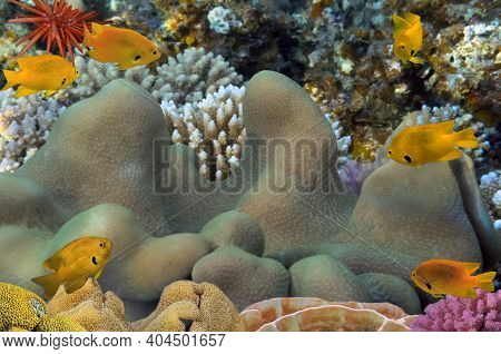 Coral Reef With Great Soft Coral At The Bottom Of Red Sea