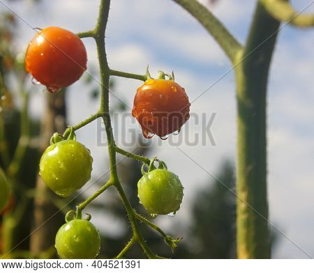 Tomato Plant's Branch  Ripe And Green Cherry Tomatoes Against Blue Sky. Tomato Plant After Rain  In