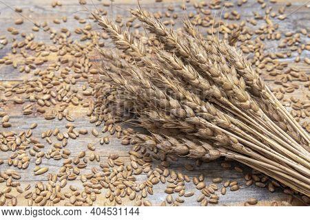 Wheat. Cereals, Grains And Ears Of Wheat. Whole Grain Wheat Kernels Closeup.