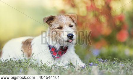 Happy Small Cute Dog Puppy Smiling And Licking Mouth In The Grass With Flowers. Pet Holiday, Greetin