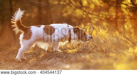Cute Obedient Happy Jack Russell Terrier Pet Dog Walking And Smelling In The Sunset Grass
