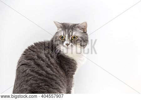Portrait Of Beautifal British Shorthair Cat On A White Background And Looking Away. Selective Focus.