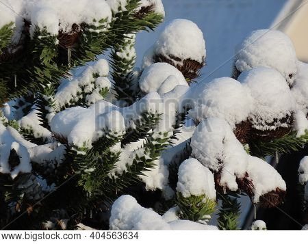 Big Round Araucaria Cones Growing On Green Branches Under White Snow In Winter, Close Up