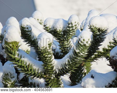 Young Araucaria Cones Growing On Green Branches Under White Snow In Winter, Close Up