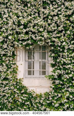 Jasmine, During Flowering, Densely Curls Along The Wall Near The Window With A Metal Lattice.