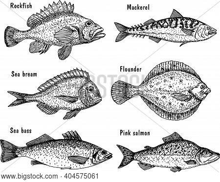 Sea Fish Sketch Set. Fishing. Hand Drawn Vector Fish. Flounder, Sea Bass, Salmon, Mackerel.
