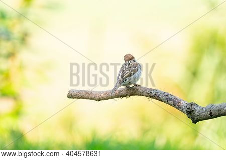 A Detailed Sparrow, Seen From Behind, Sits On A Tall Branch, With A Hazy Green And Yellow Background