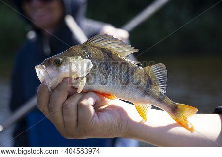 Freshly Caught European Bass . Catch Fisherman. Fisherman Caught Bass.bass In Hand.fishing Backgroun