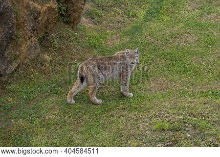 Eurasian Lynx, Lynx Lynx. It Is A Wildcat Native To Northern, Central And Eastern Europe To Central