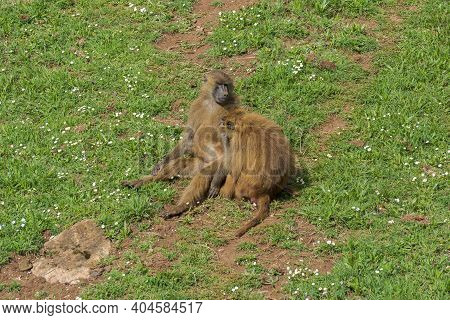 Guinea Baboon, Papio Papio. It Is A Baboon Inhabits A Small Area In Western Africa