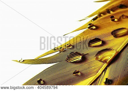Water Droplets On Macaw Parrot Yellow Feathers On Isolated White Backgound