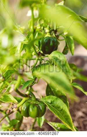Bell Pepper Plant Outdoor In Sunny Vegetable Garden Shot At Shallow Depth Of Field