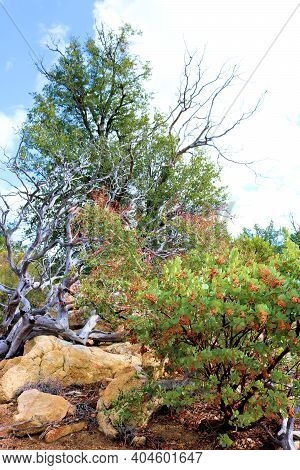 Chaparral Plants Besides An Oak Tree Taken At A Chaparral Woodland On A Mountain Ridge Taken In The