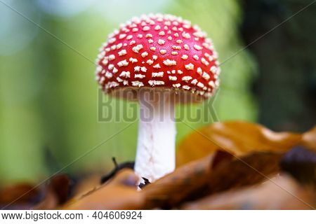 Fly Agaric Or Fly Amanita (amanita Muscaria) Is A Basidiomycete Of The Genus Amanita. It Is Also A M