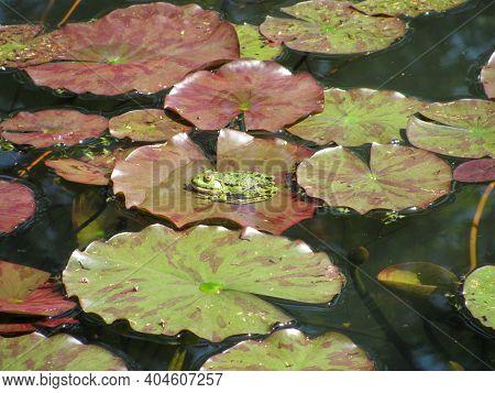 Rana Esculenta In A Big Garden Pond
