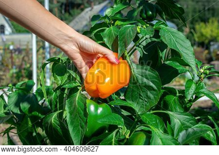 Farmer Womans Hand Holds Ripe Orange Bell Pepper. Plucks Ripe Peppers From A Bush. Pepper Crop, Woma