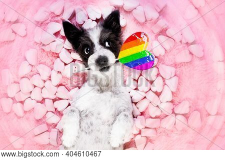 Poodle Gay Pride Dog Looking On Valentines ,while Lying On Bed Full Of Marshmallows As Background  ,