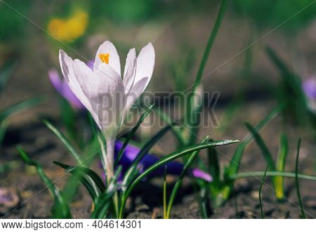 White Crocuses Growing On The Ground In Early Spring. First Spring Flowers Blooming In Garden. Sprin