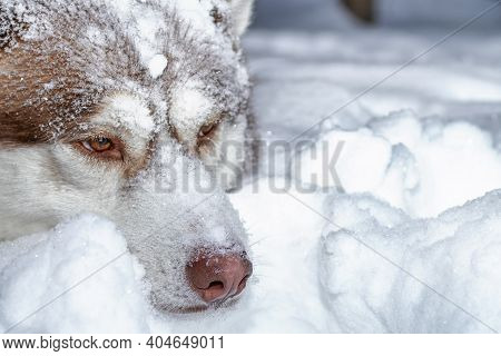 Husky Dog Lies On The Snow In The Winter Forest. Husky Dog Covered In Snow. Selective Focus.