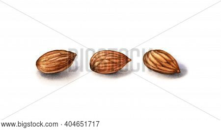 Watercolor Almonds. Realistic Botanical Illustration With Peeled Almond Fruits. Set Of Three Nuts. H