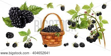 Blackberry In A Basket, Blackberry With A Leaf, Blackberry On A Branch. Set Of Watercolor Illustrati