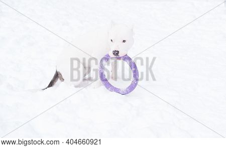 White American Bulldog Puppy Playing With Violet Puller In Winter Forest. Dog.